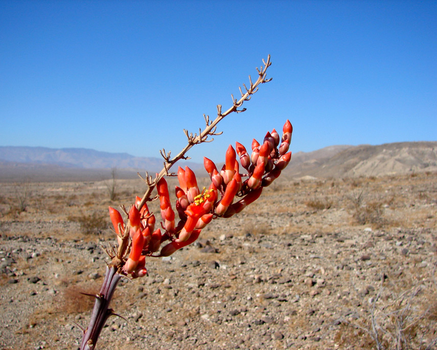 Ocotillo bloom, Coyote Mountains, Imperial County, CA, Andrew D. Barron©1/4/07