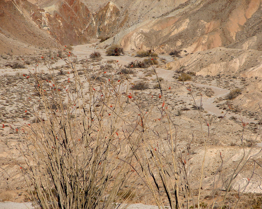 Ocotillo blooms, Canyon Sin Nombre, Coyote Mountains, San Diego County, CA, Andrew D. Barron©12/07