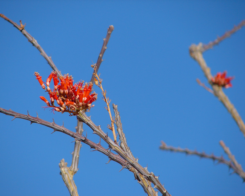 Ocotillo bloom, Canyon Sin Nombre, Coyote Mountains, San Diego County, CA, Andrew D. Barron©12/07