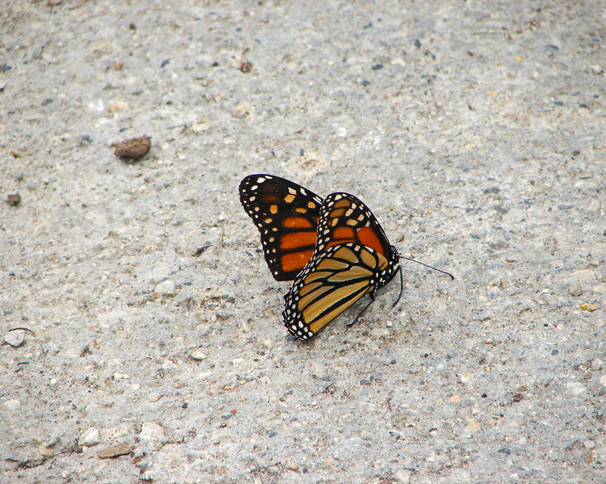 Butterfly, Adair, IA, Andrew D. Barron©7/29/08