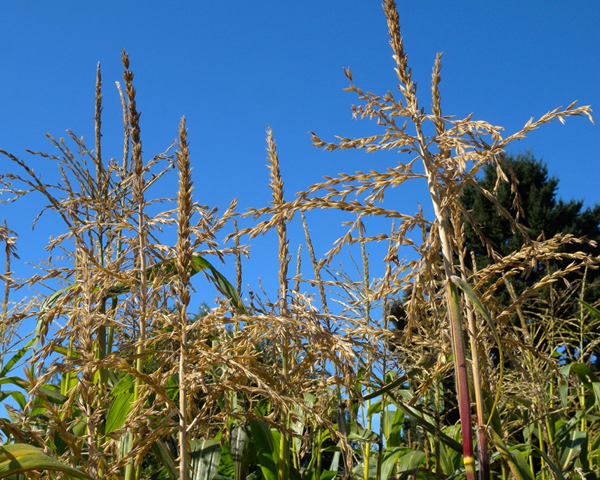 Corn grows, Andrew D. Barron©9/18/11