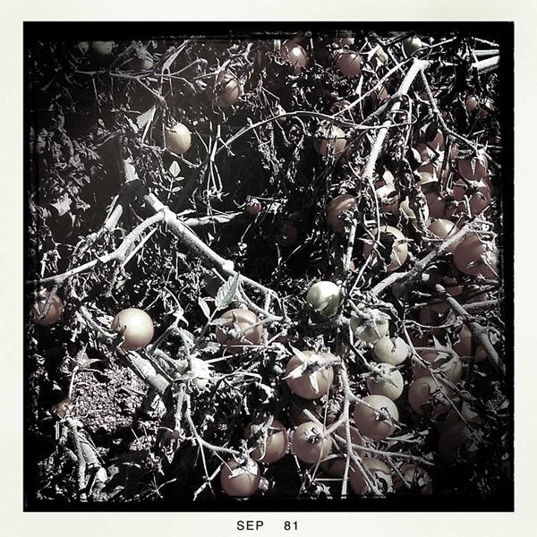 Tomatoes, Andrew D. Barron©9/18/11