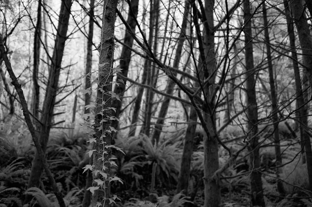 Ivy climbs, Andrew D. Barron©12/26/11