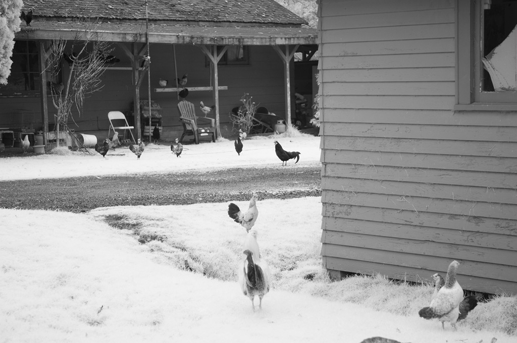 Chickens, Andrew D. Barron©12/30/11