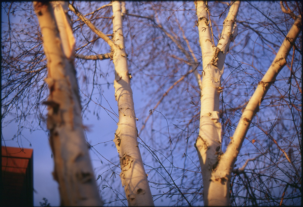 Birches in Vancouver WA, Andrew D. Barron©12/20/11