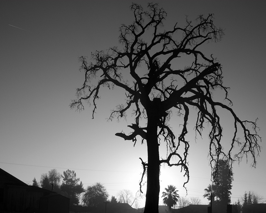 Old tree sunrise west of Porterville, CA, Andrew D. Barron©1/10/12