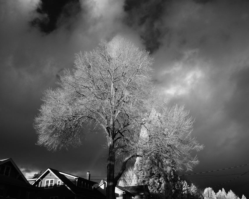 Camas tree, Andrew D. Barron©1/21/12