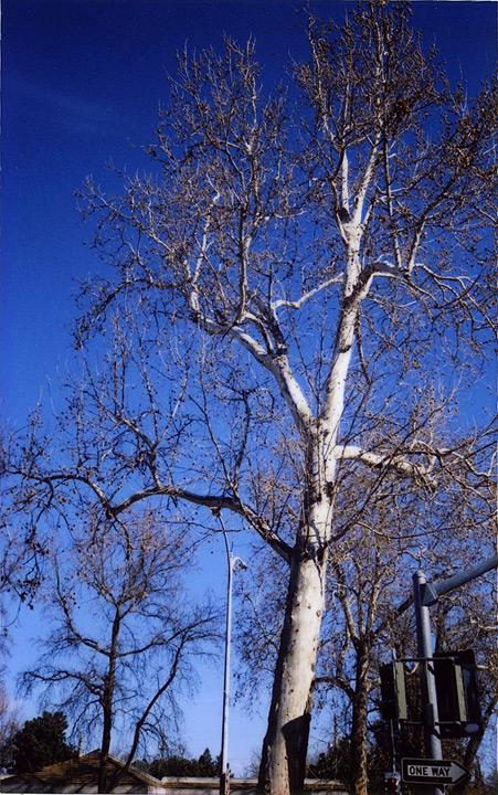 Esplanade sycamore, Chico, CA, Andrew D. Barron©1/12/12