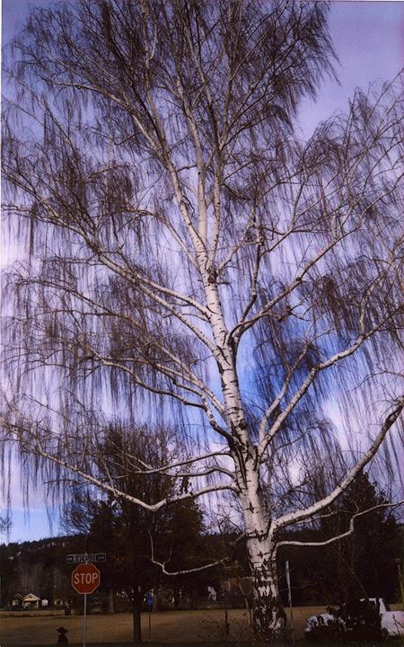 Esplanade sycamore, Chico, CA, Andrew D. Barron©1/14/12