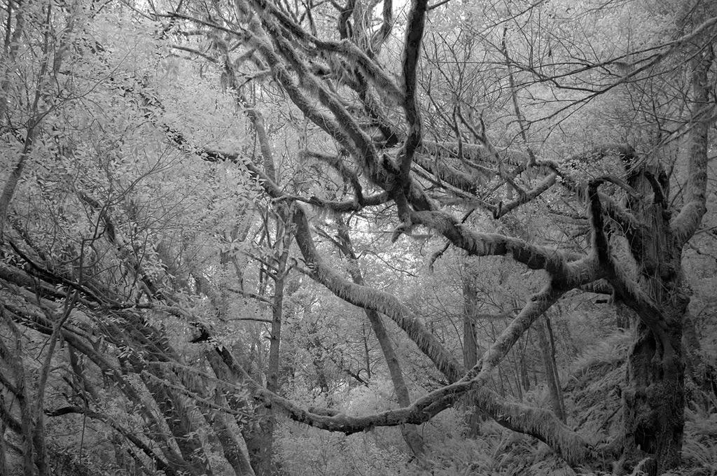 Spooky tree, Humbug, Andrew D. Barron©2/9/12