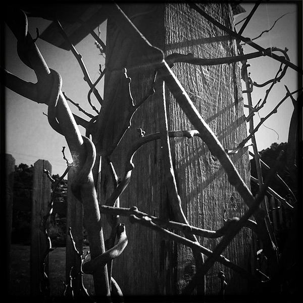 Kiwi vines climb, Andrew D. Barron©2/11/12