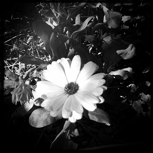 Calendula, Andrew D. Barron©2/11/12