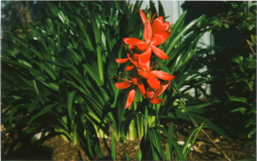 Yard flower with Fuji Instax 210, Andrew D. Barron©2/9/12