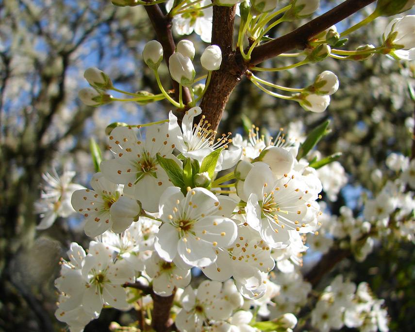 Blossoms, Andrew D. Barron©3/3/12