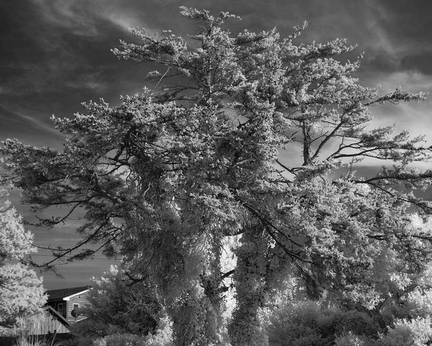 Spooky tree, Port Orford, Andrew D. Barron©3/7/12