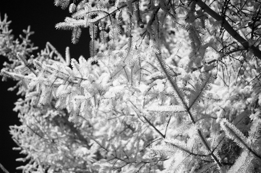 Shore pines in infrared, Andrew D. Barron©3/8/12