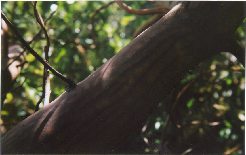 Madrone on Old Coast Road, Andrew D.Barron©4/5/12