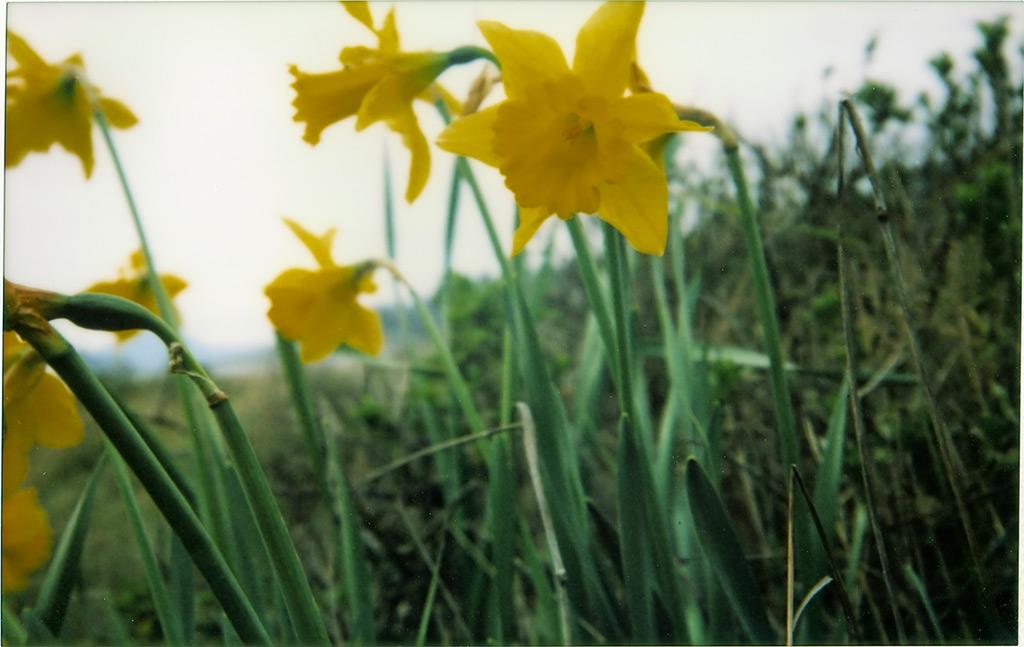 Daffodil farewell, Andrew D. Barron©4/6/12