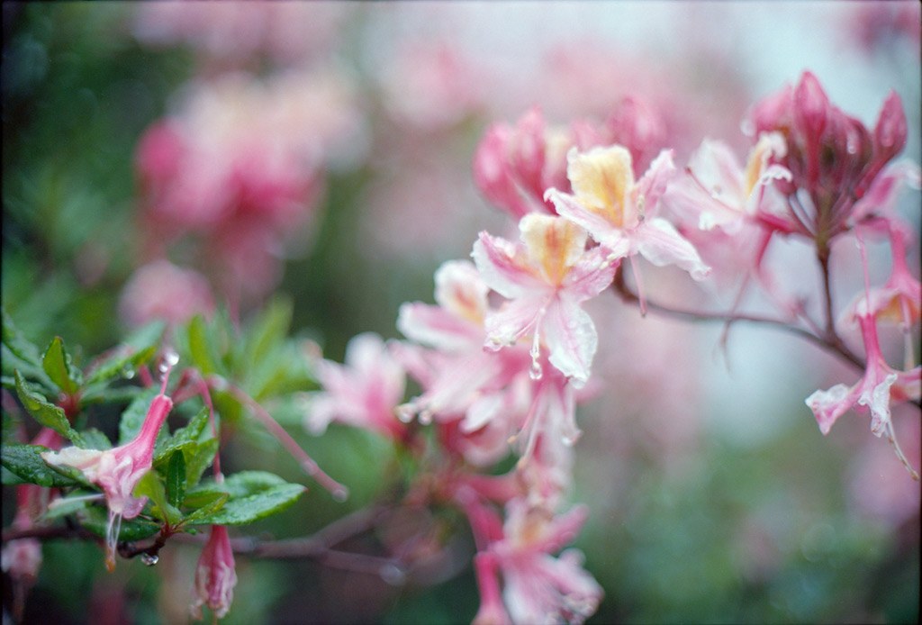 Azaleas in the rain, Andrew D. Barron©4/30/12