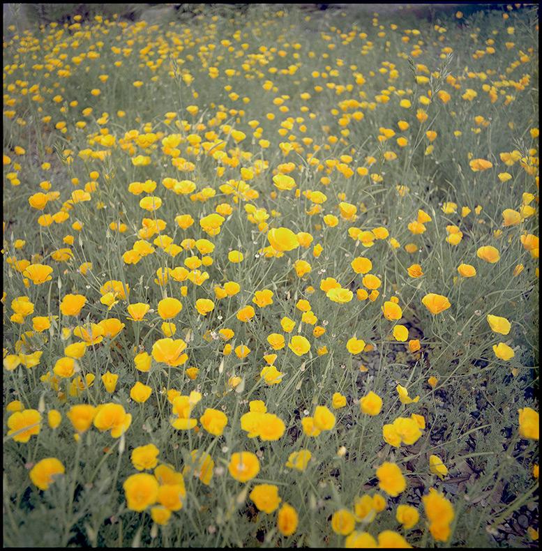 Agness poppies, Andrew D. Barron©5/25/12 [Hasselblad 500c/m, 80mm ƒ2.8, Portra 400]