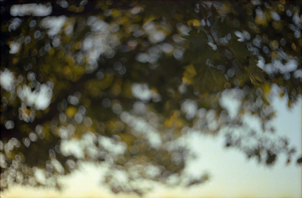 Sycamore leaves, Reno NV, Andrew D. Barron©October 2012 [Leica IIIf, Sumitar 50mm ƒ2.0, Portra 400]