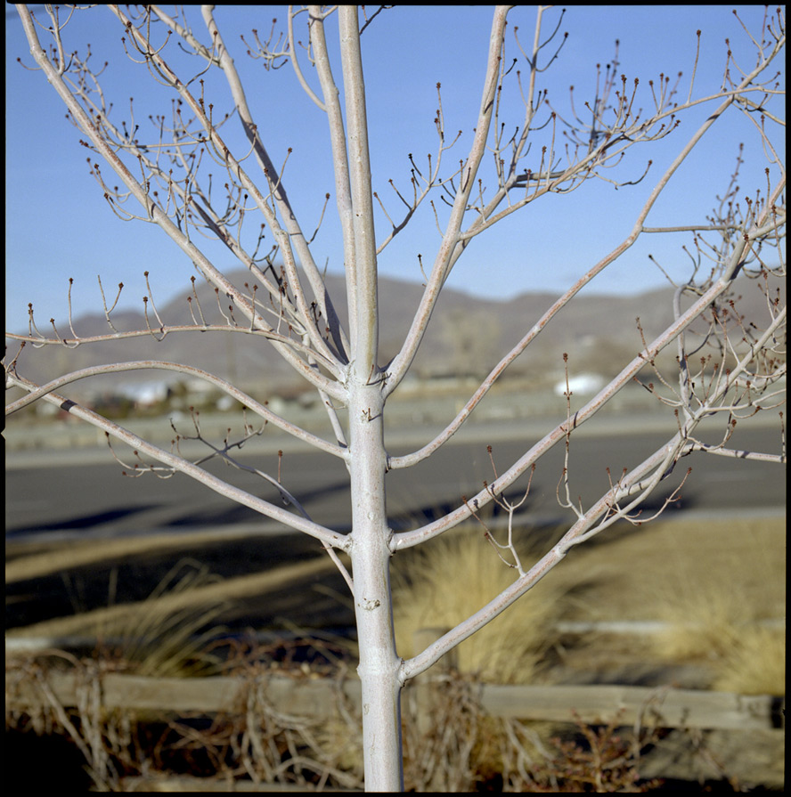 Reno parking lot tree, Andrew D. Barron©1/30/13 [Hasselblad 500c/m; Planar 120mmƒ5.6, Fuji Reala 100 frame 6]