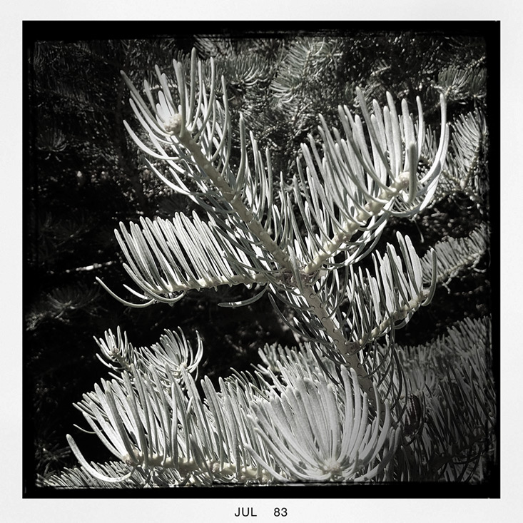 Neighborhood pine, Andrew D. Barron©7/19/13 [iPhone 4S: Hipstamatic]