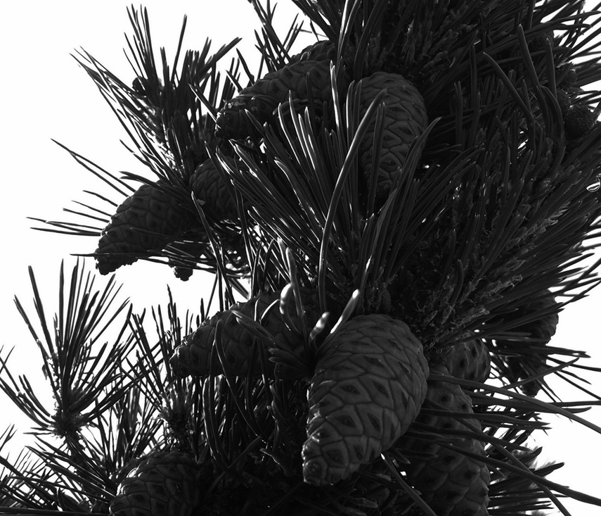 Sun sets through the needles and young pine cones at Virginia City, Andrew D. Barron©7/20/13 [iPhone 4S:645 Pro]